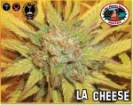 L.A. CHEESE · graines de cannabis · Fem
